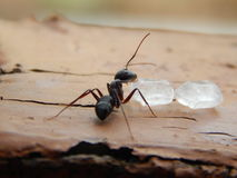 Black Ant Eating Piece of Sugars on wood Royalty Free Stock Image