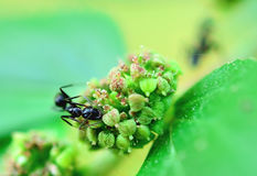 Black ant. Feeding on flowers alone Royalty Free Stock Photo