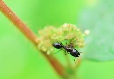 Black ant Royalty Free Stock Photo