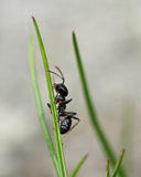 Black ant in garden grass Royalty Free Stock Photos