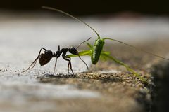 Black ant and green cricket. This black ant is good at fighting, it declared war on a green cricket stock images