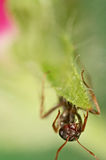 Black ant on green grass Stock Photography