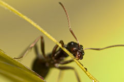 Black ant on green grass Royalty Free Stock Image