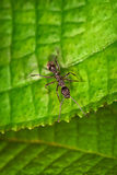 Black ant on the green leaf Stock Photography
