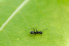Black ant on a green leaf Stock Photos