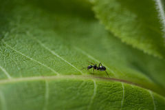 Black ant on a green leaf Stock Images