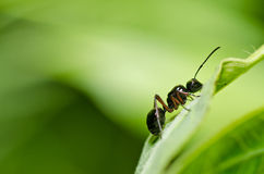Black ant in green nature Stock Image