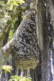 Black Ant hive in tree, Uganda Stock Photo