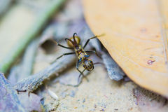 Black ant with horns Royalty Free Stock Photography