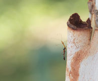 A black ant with an insect. On tree bank in close-up Stock Image