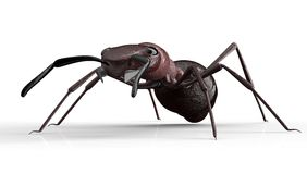 Black ant isolated on a white background Royalty Free Stock Photos