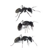 black ant isolated on white background Stock Photo