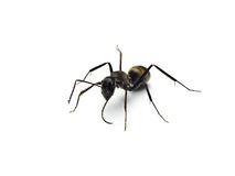 Black ant isolated on white background. Royalty Free Stock Image