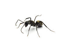 Black ant isolated on white background. Royalty Free Stock Photo