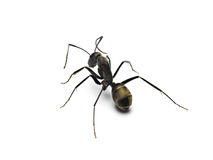 Black ant isolated on white background. Royalty Free Stock Photos