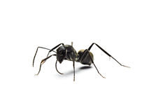 Black ant isolated on white background. Stock Image