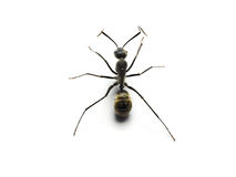 Black ant isolated on white background. Macro shots of Black ant isolated on white background with stacked focus Royalty Free Stock Images