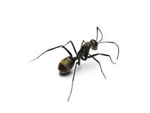 Black ant isolated on white background. Royalty Free Stock Images