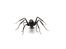 Black ant isolated on white background. Stock Photos