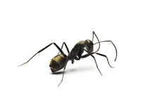 Black ant isolated on white background. Stock Photography