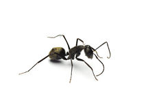 Black ant isolated on white background. Royalty Free Stock Photography