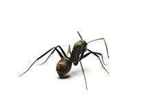 Black ant isolated on white background. Stock Photo