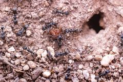 Black ant killed red ant. For food and carry head of red ant to the pit Stock Image