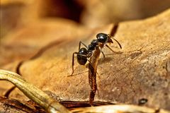 Black Ant Macro Royalty Free Stock Image