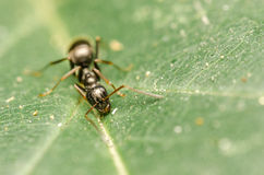 Black Ant Royalty Free Stock Image