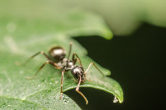 Black Ant Stock Images