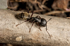 Black ant Macro. Close up shot of black ant walking on top of wood Royalty Free Stock Photography