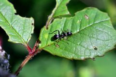 Black ant sits on green leaf. In the nature Stock Image