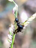 Black ant Royalty Free Stock Photos
