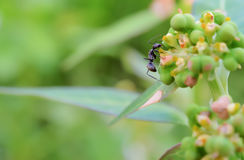 Black ant Royalty Free Stock Photography