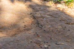 The black ant was walking a line royalty free stock images