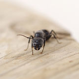 Black ant on wood Stock Photography
