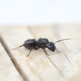 Black ant on wood Stock Images