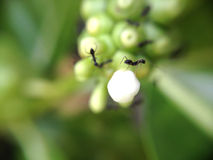 Black ant. Worker black ant in the backyard Stock Images