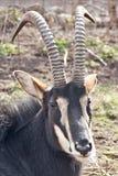 Black antelope Royalty Free Stock Photography