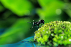 Black Ants Royalty Free Stock Images