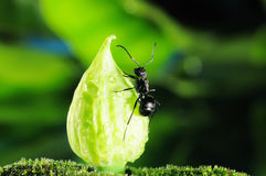 Black Ants Stock Photography