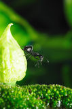 Black Ants Royalty Free Stock Photo