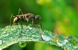 Black Ants Above The Dew Royalty Free Stock Photography