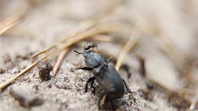 Black ants attack Lucanus cervus female stag beetle species. Europe, Ukraine