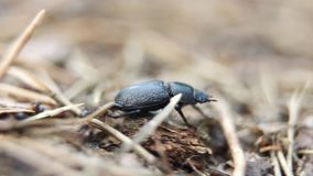 Black ants attack Lucanus cervus female stag beetle species, Europe, Ukraine