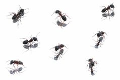 Black Ants in different position Stock Images