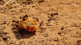 Black ants moving a berry to their nest  - Formicidae Royalty Free Stock Photo
