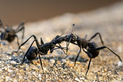 Black ants Fighting Royalty Free Stock Photos