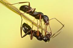 Black ants on green grass Royalty Free Stock Photos