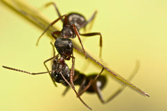Black ants on green grass Stock Images